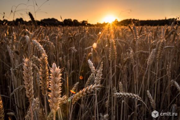 Ячмень и пшеница нового урожая. Фото 2.