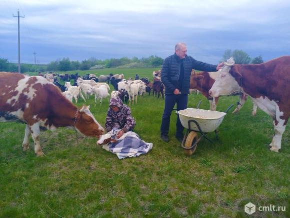 Продам корову и двух телок. Фото 1.