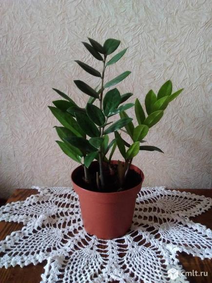 Долларовое дерево. Фото 1.