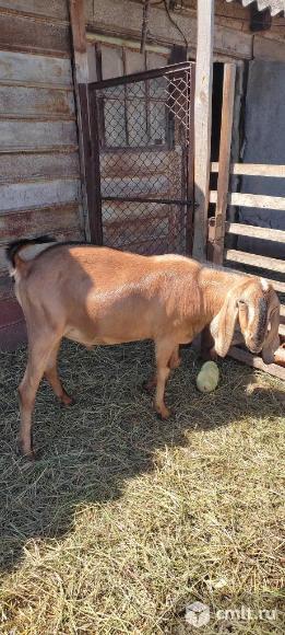 Нубийский козёл на покрытие. Фото 1.