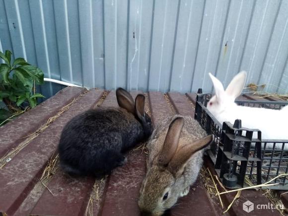 Продам кроликов. Фото 5.