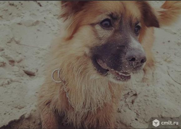 Пропала собака! рыжая дворняжка. Фото 1.