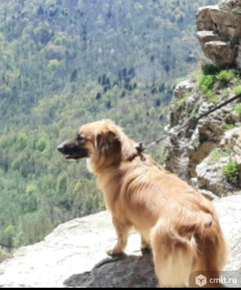 Пропала собака! рыжая дворняжка. Фото 2.