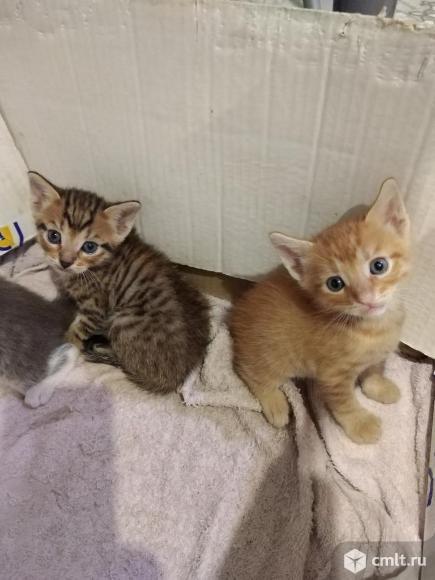 Милые котята, 3 мальчика и 1 девочка, в добрые руки. Фото 6.