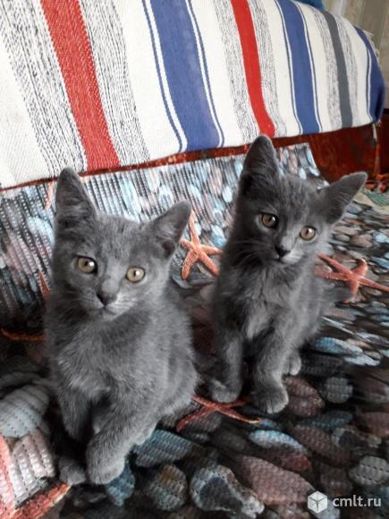 Дымчатые котята Рыжик и Черныш. Фото 1.
