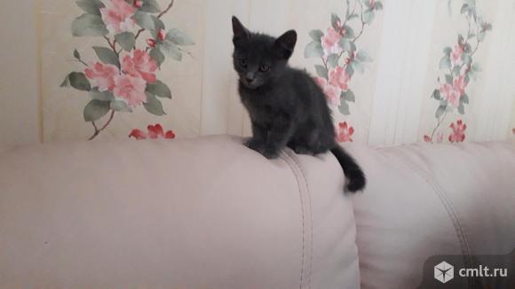 Дымчатые котята Рыжик и Черныш. Фото 14.