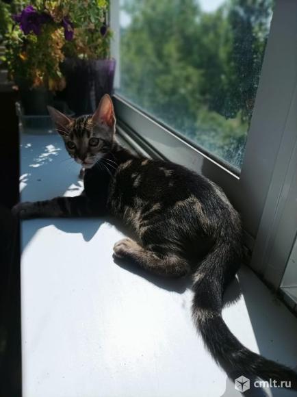 Бенгальские котята. Фото 7.