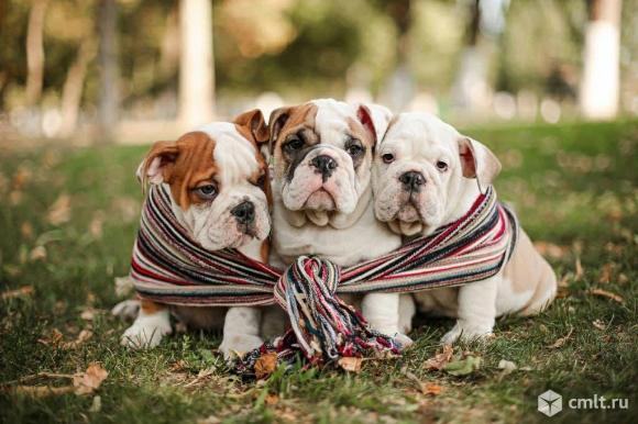 Продаются щенки английского бульдога. Фото 1.