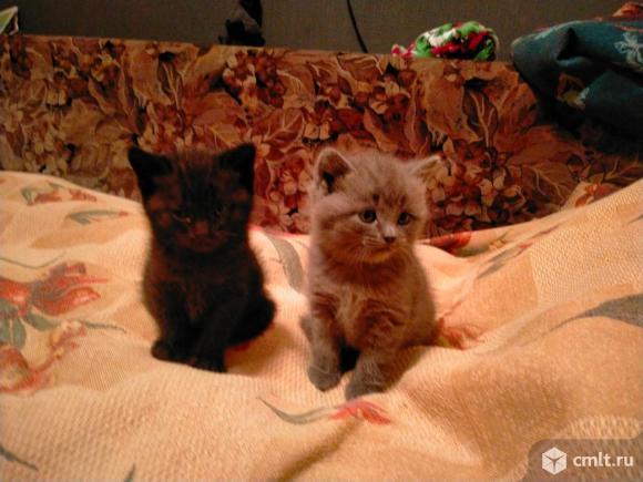 Британские котята, серо-голубой, темно-серый, черепаховый. Фото 1.