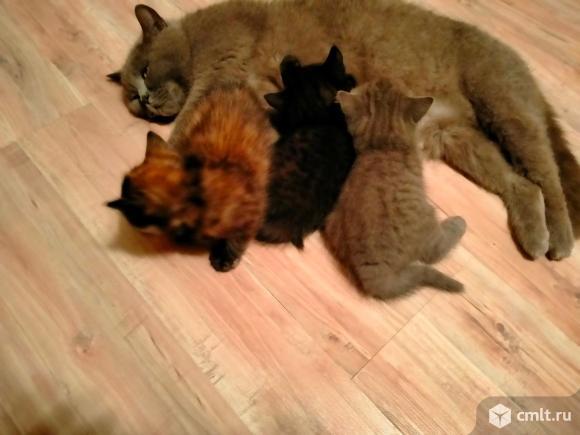 Британские котята, серо-голубой, темно-серый, черепаховый. Фото 4.