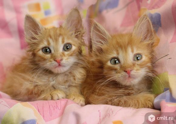 Котята рыжики ищут дом. Фото 1.