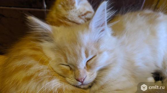 Красивые домашние котята в добрые руки. Фото 7.