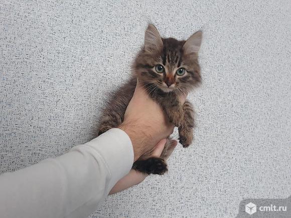 """Котенок Сибирской Породы   Кошек, окрас """"коричневый Табби"""". Фото 1."""