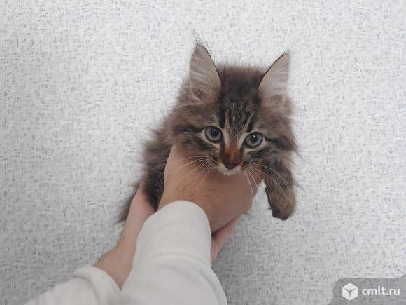 """Котенок Сибирской Породы   Кошек, окрас """"коричневый Табби"""". Фото 6."""