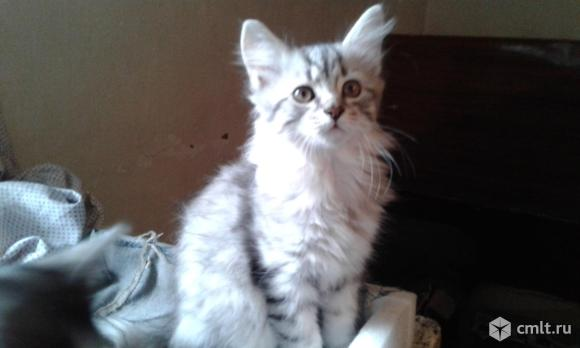 Британские котята. Фото 1.