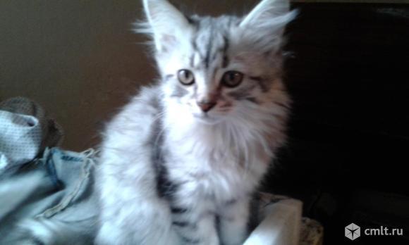 Британские котята. Фото 6.