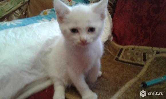 Ангорские котята. Фото 1.