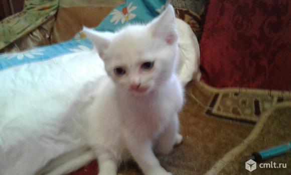 Ангорские котята. Фото 7.