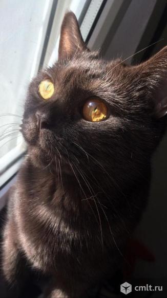 Котята от британской кошки. Фото 7.