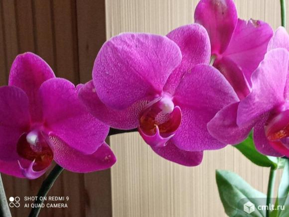 Орхидея болеет. Фото 1.