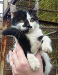 Бело-черная котенок-девочка