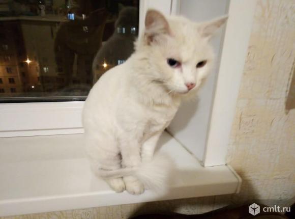 Кошка Турецкая ангора ищет дом. Фото 3.