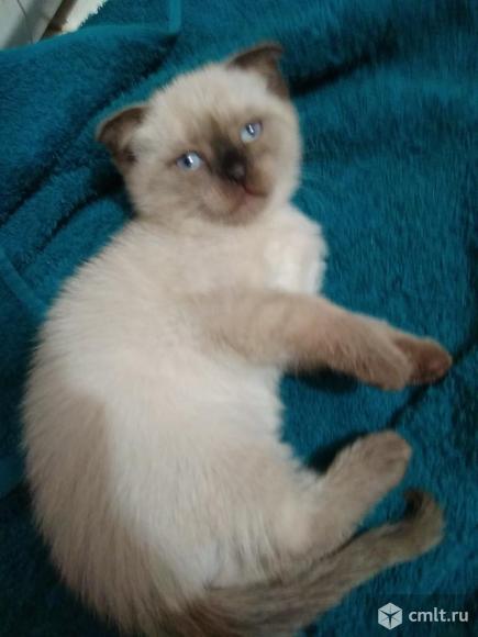 Котенок тайский вислоухий. Фото 1.