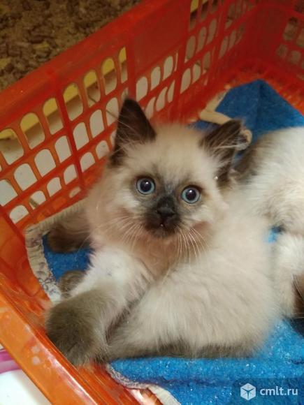 Котенок девочка Невская маскарадная. Фото 1.