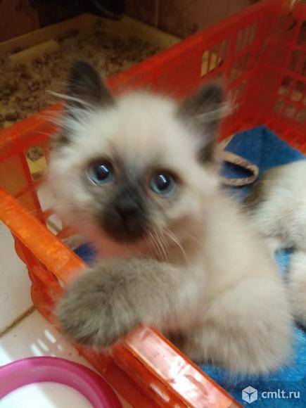 Котенок девочка Невская маскарадная. Фото 7.