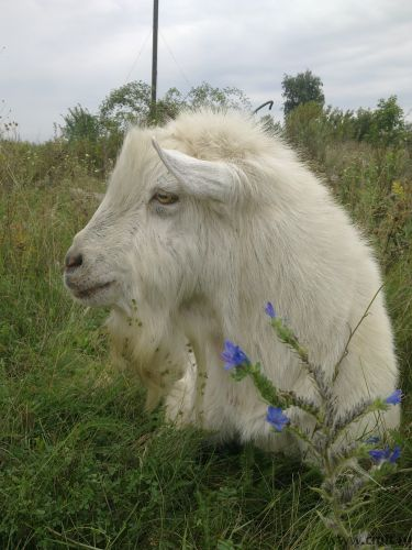 Племянной козел