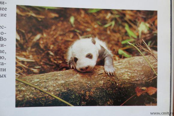 Книга Панды из серии Мир природы 80 фото, 24х33. Фото 8.