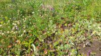 На участке дивные лекарственные травы,4 вида лесной земляники.
