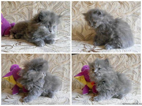 хайленд-страйт котята фото