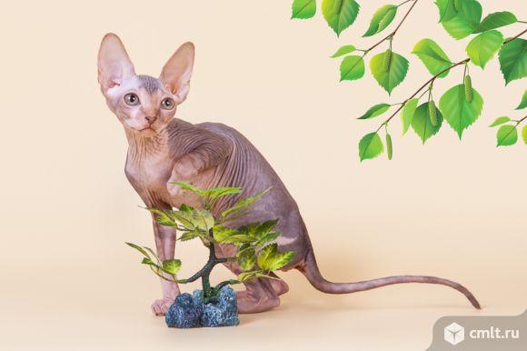 Волшебный котёнок сфинкс.. Фото 4.